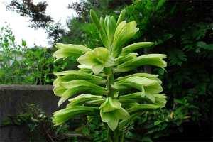 オオウバユリの花