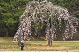 境内の枝垂桜「