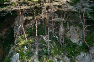 津波被害の松とハマギク