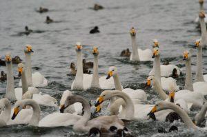 高松の池の白鳥たち