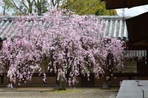 夢殿回廊の枝垂れ桜