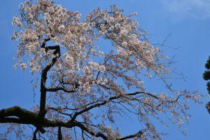 氷室神社の枝垂れ
