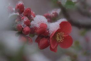 重い雪とボケの花