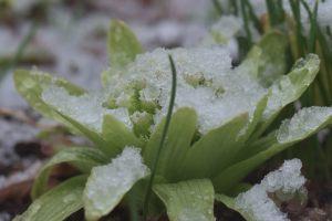 フキノトウも雪の下